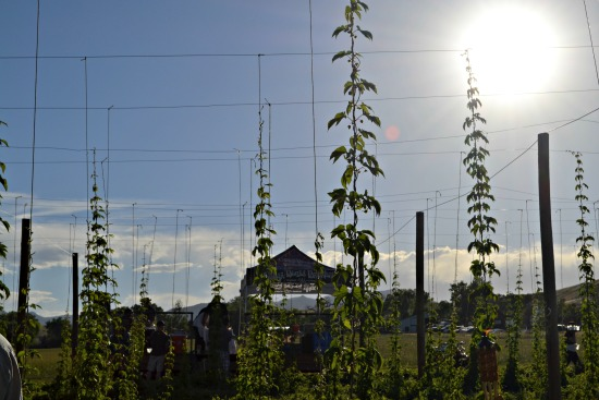 Hops and sun